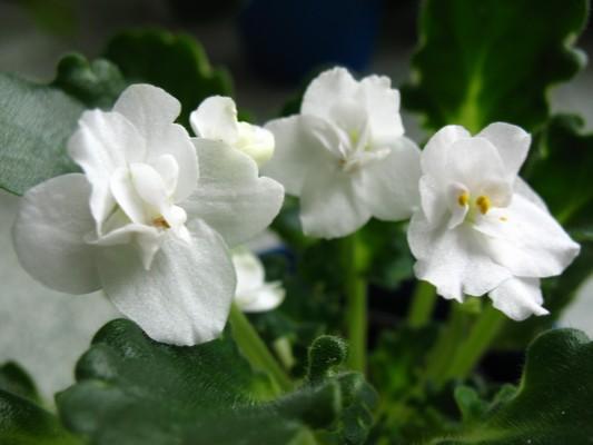 Bílá poloplná,květy