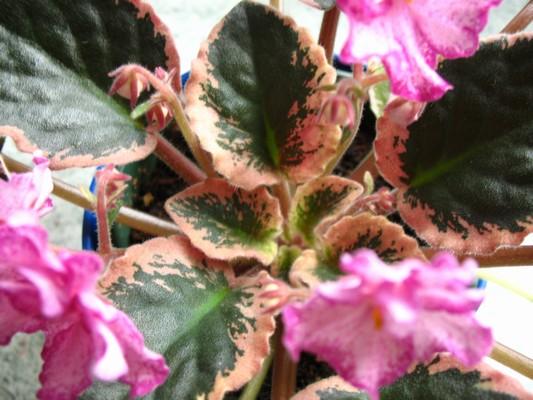 Buckeye Crandberry Sparkler,ukázka pestrolistosti
