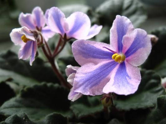 Chiméra Tineke,květy
