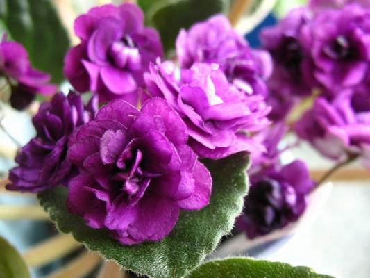 Fialová plná,jako růžička,květy