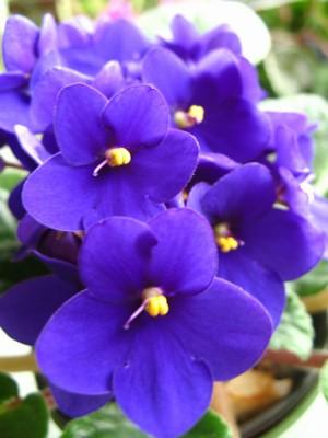 Jednoduchá modrá,květy