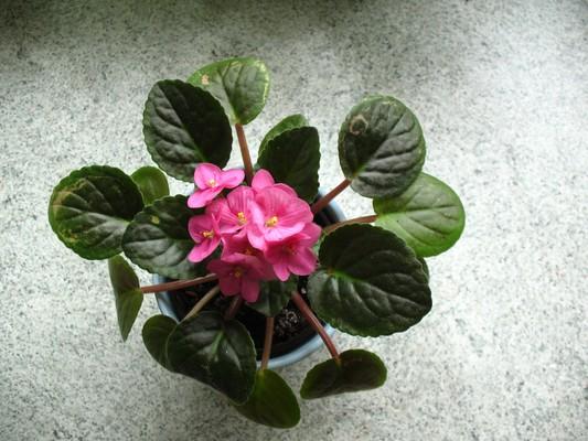 Jednoduchá růžová